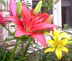 pixie lilies